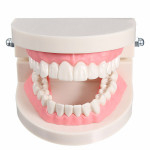 1 Pack Dental Dentist Teeth Tooth Teach Model Pink Flesh Gums Health Care