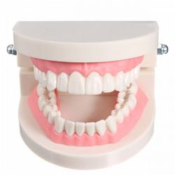 1 Pack Dental Tandlæge Tænder Tooth Teach Model Lyserød Flesh Gums