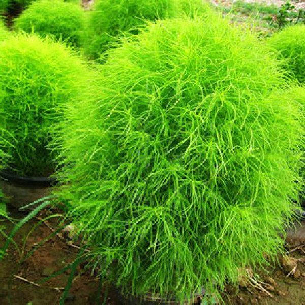 100 Kochia Scoparia Grass Plants Seeds