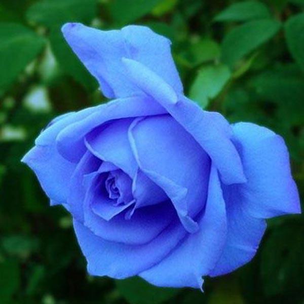 blå roser pris